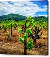 2638- Coffaro Vineyard Canvas Print
