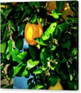 2644- Lemon Tree Canvas Print