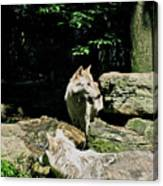 The Wild Wolve Group A Canvas Print
