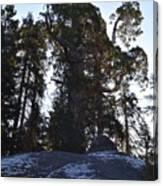 Giant Sequoia Trees Canvas Print
