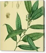 Vintage Botanical Illustration Canvas Print