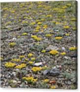 2d07512 Prairie Zinnia In Lost River Range Canvas Print