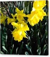 A Daffodil Exhibit Canvas Print