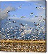 A Panoramic Of Thousands Of Migrating Canvas Print