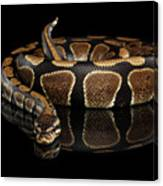 Ball Or Royal Python Snake On Isolated Black Background Canvas Print