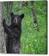 Black Bear Yearling Canvas Print