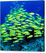 Bluestripe Snapper Canvas Print