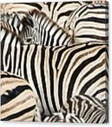 Burchells Zebras Equus Quagga Canvas Print