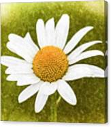 Chamomile Watercolor Canvas Print