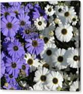 Cineraria Canvas Print