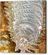 Clam Worm Canvas Print