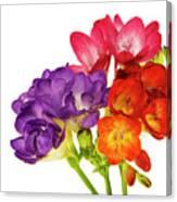 Colorful Freesias Canvas Print
