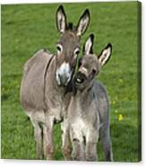 Donkey Mother And Young Canvas Print