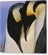 Emperor Penguin Aptenodytes Forsteri Canvas Print