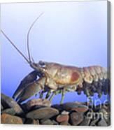Female Rusty Crayfish Canvas Print