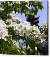 Flowering Pear Branch In The Garden Canvas Print
