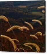 Foxtails Canvas Print