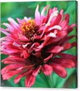 Fuchsia Pink Zinnia From The Whirlygig Mix Canvas Print