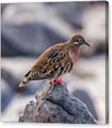 Galapagos Dove In Espanola Island. Canvas Print