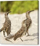 Galapagos Hood Mockingbird Canvas Print