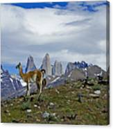 Guanacos In Torres Del Paine Canvas Print
