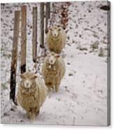 3 Happy Sheep Canvas Print