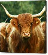 Highland Cattle Canvas Print