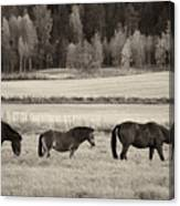 Horses Of The Fall  Bw Canvas Print
