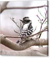 Img_0001 - Downy Woodpecker Canvas Print