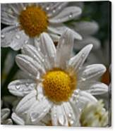 Marguerite Daisy Canvas Print