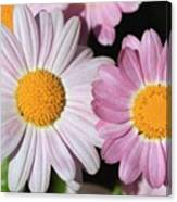 Marguerite Daisy Named Petite Pink Canvas Print