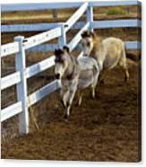 Miniature Horse Canvas Print