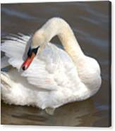 Mute Swan Grooming In Shallow Water Canvas Print