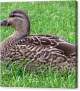 New Zealand - Female Mallard Duck Canvas Print