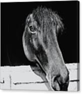 Noble Stallion  Canvas Print