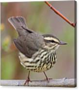 Northern Waterthrush Canvas Print