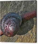 Oregon Snail Canvas Print