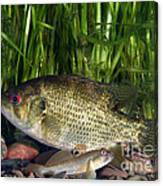 Rock Bass Canvas Print