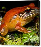 Rosy Ground Frog Canvas Print
