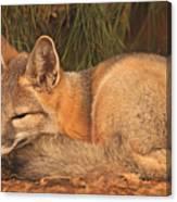 San Joaquin Kit Fox  Canvas Print