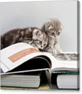 Scottish Fold Cats Canvas Print
