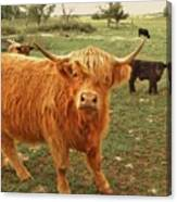 Scottish Highlander With Big Bangs Canvas Print