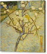 Small Pear Tree In Blossom Canvas Print