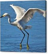 Snowy Egret In Flight Canvas Print