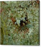 Squat Anemone Shrimp Canvas Print