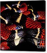 Surinam Coralsnake Canvas Print