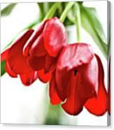 3 Tulips Canvas Print