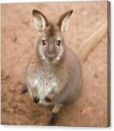 Wallaby Outside By Itself Canvas Print