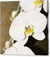 3 White Orchids Canvas Print