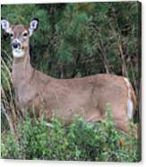 White Tailed Deer Calverton New York Canvas Print